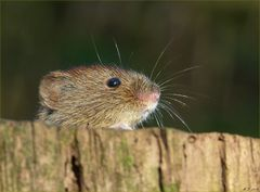 Die süße Maus im Wald, zeigte sich auch mal wieder...
