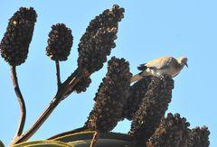Die Taube auf der Aloe