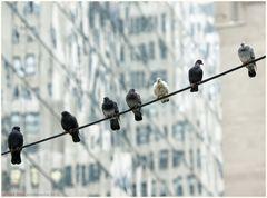 Die Tauben von Manhattan