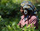 Die Teepflückerin - Sri Lanka