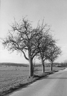 Die Three Trees in s/w