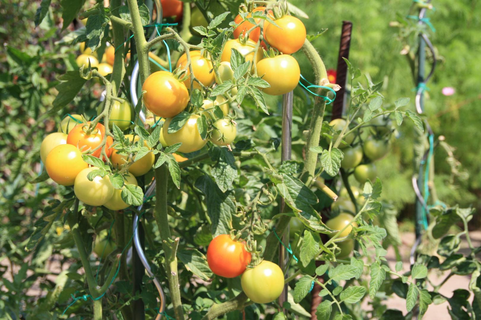 Die Tomaten reifen