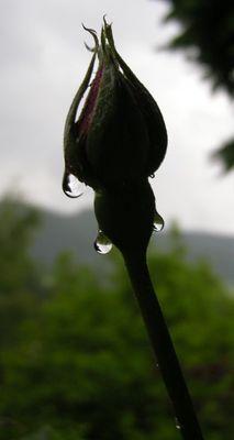Die Tränen der Rose
