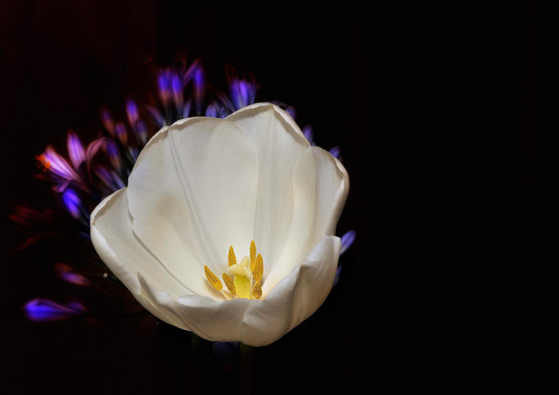 Die Tulpe 2