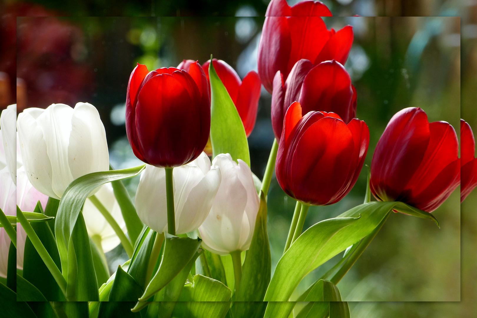 die tulpe foto bild pflanzen pilze flechten bl ten kleinpflanzen pflanzen bilder auf. Black Bedroom Furniture Sets. Home Design Ideas
