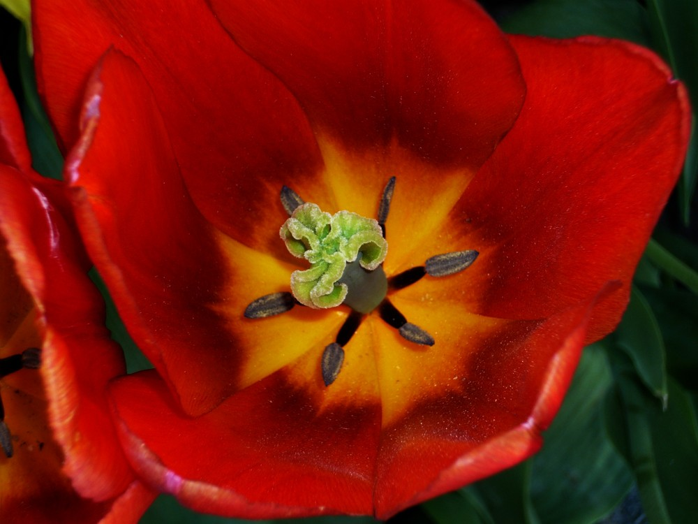 die Tulpe aus Mainau...