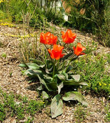 Die Tulpen sind wieder da!