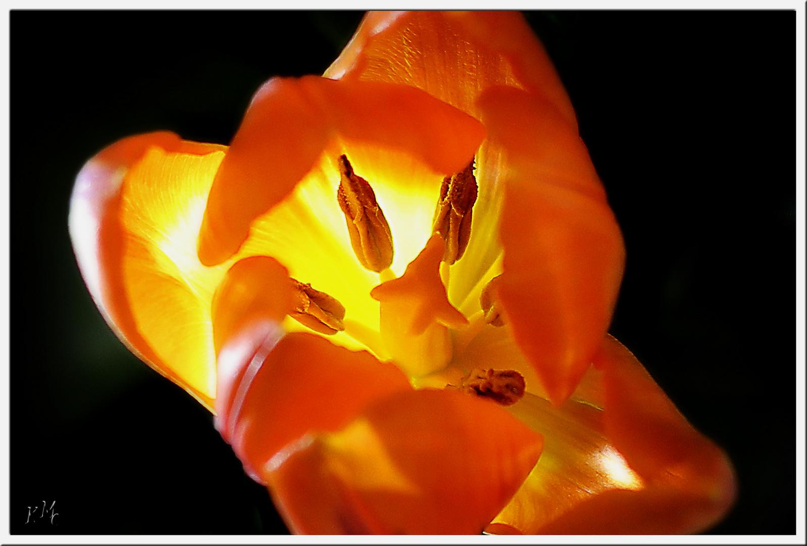 die Tulpenblüte ist erwacht