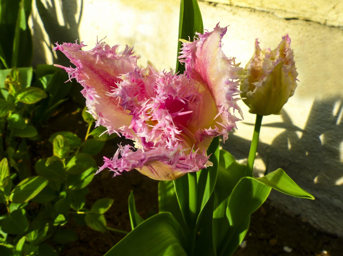 Die Tulpenpracht