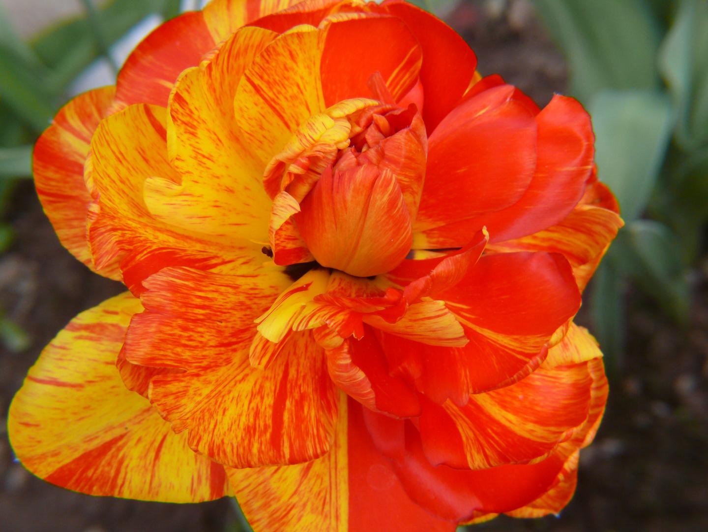 die Tulpenvielfalt