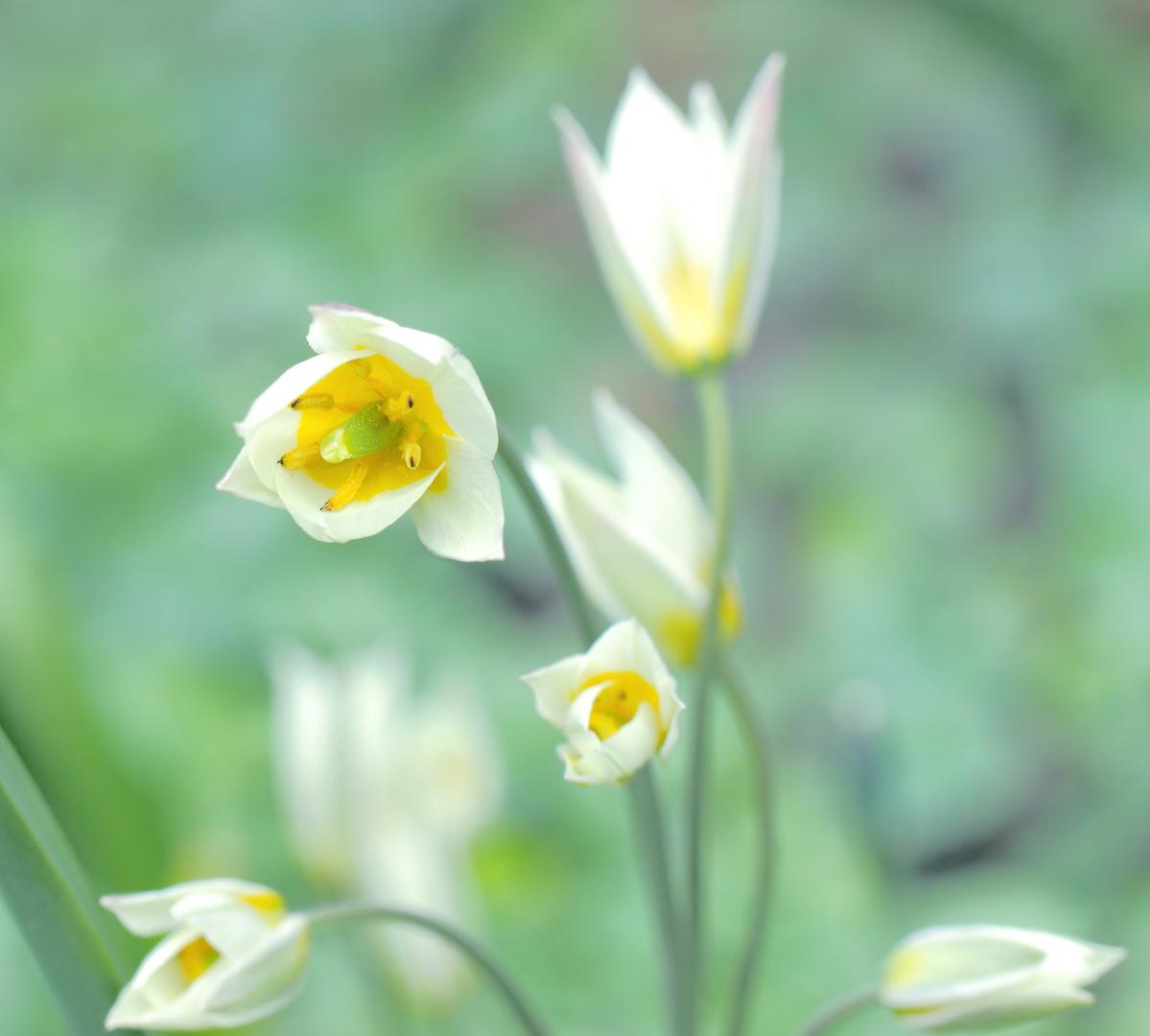 die turkestanische tulpe