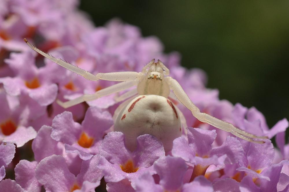 Die Veränderliche Krabbenspinne........., (Misumena vatia)