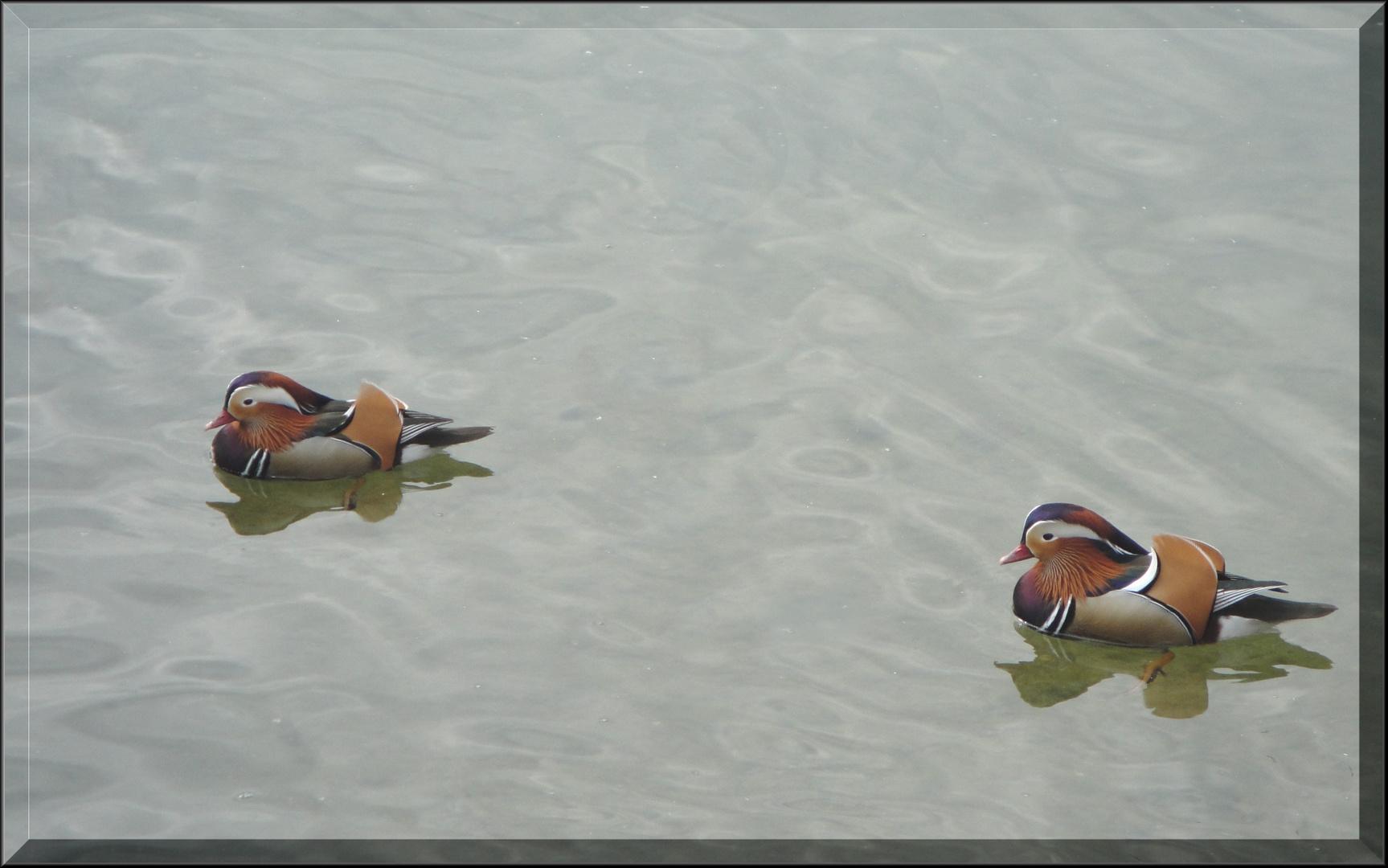 Die Vielfalt unserer Enten