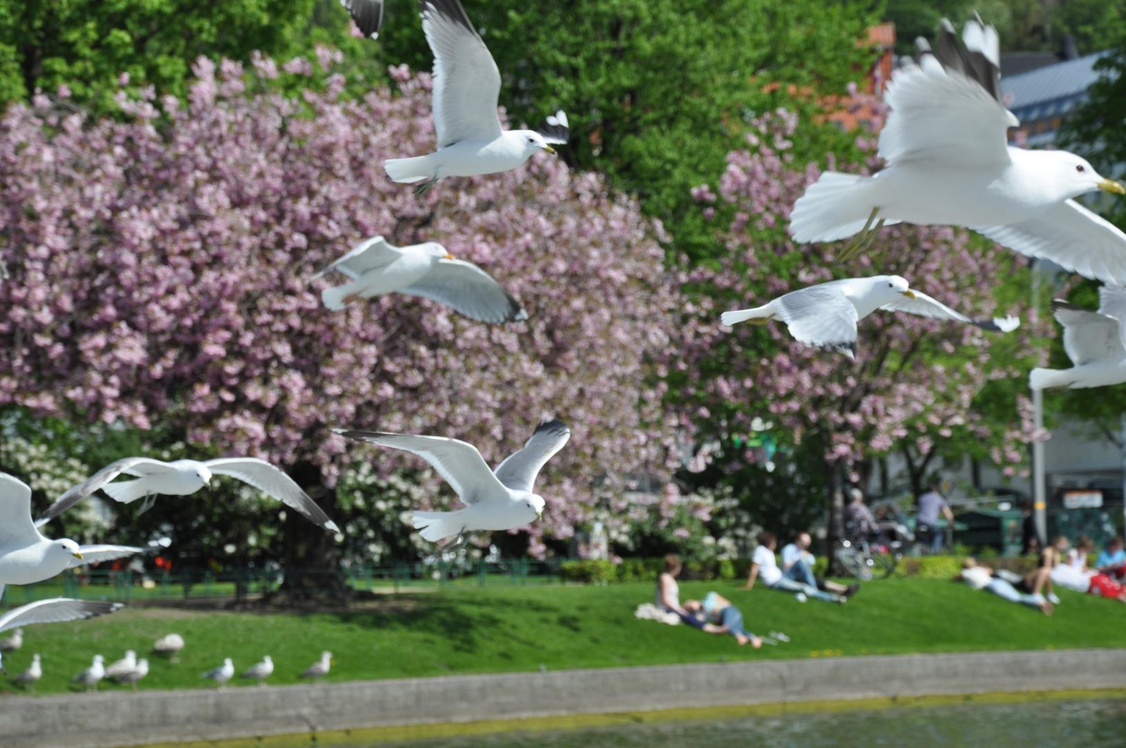 Die Vögel - 05.2011 in Bergen (Norwegen) - H