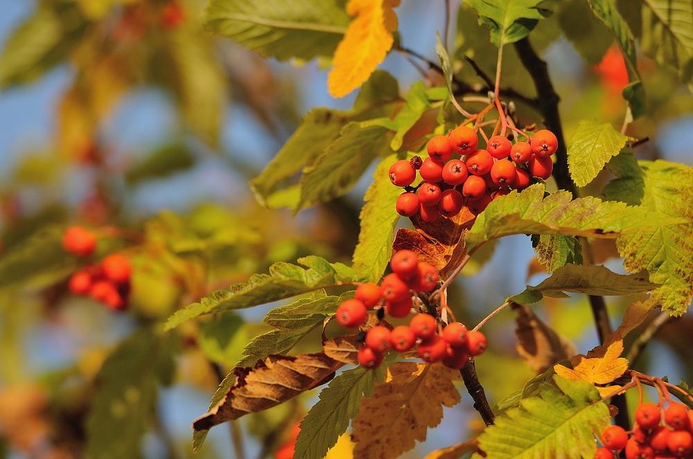 Die Vogelbeere in der Abendsonne, der Herbst zeigt sich in seinen schönsten Farben.