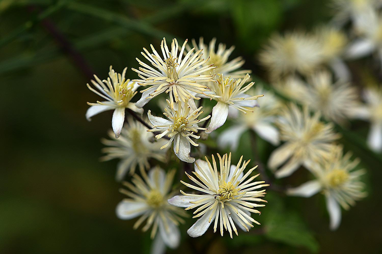 die Waldrebe (Clematis vitalba)