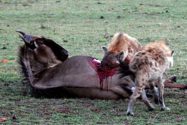 Die waren Killer der Savanne