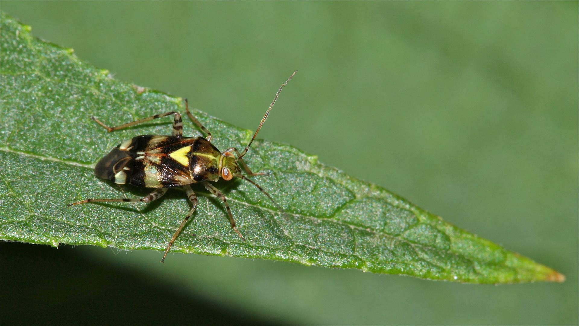 Die Weichwanze Liocorus tripustulatus