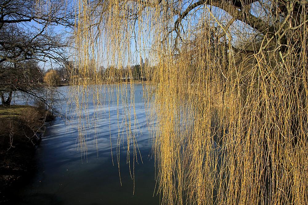 Die Weide will schon ausschlagen :--))