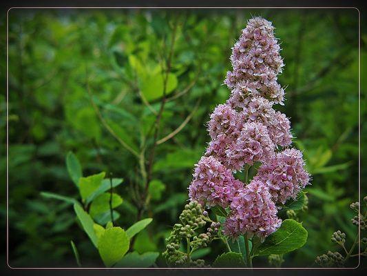 Die Weidenblättrige Spiere - (Spiraea salicifolia)