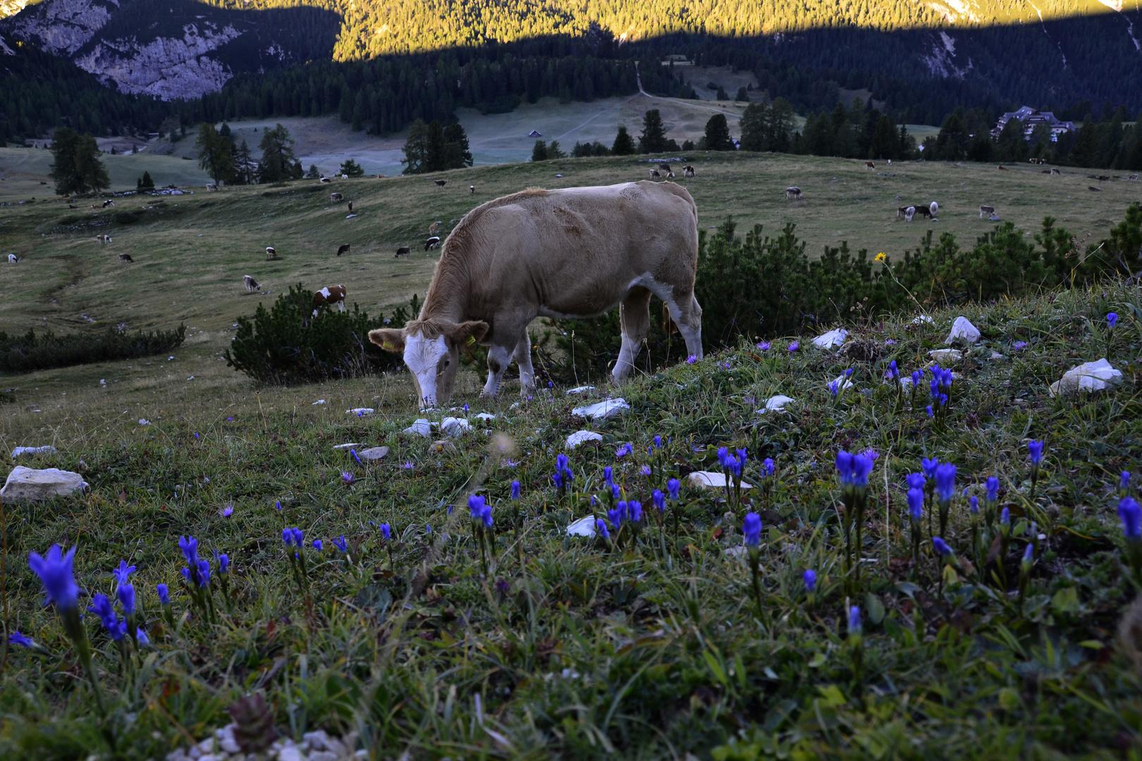 Die weidende Kuh....