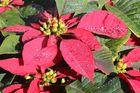 die Weihnachtssterne blühen