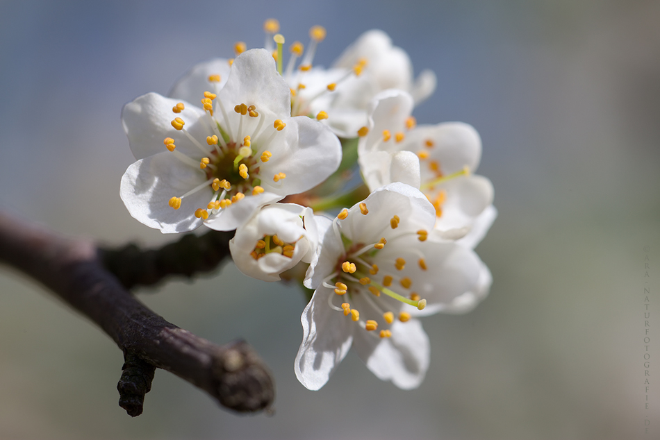 Die Weißdornblüte ....