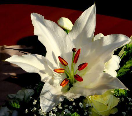 Die weisse Lilie (Lilium)