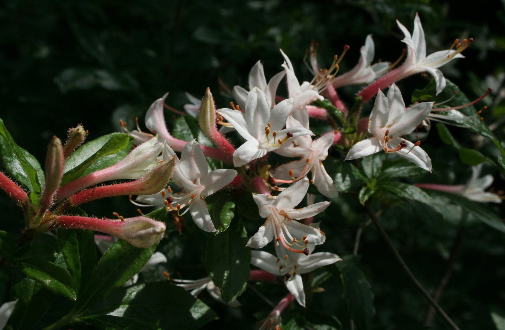 Die weisse Lilien'Rispe' (Lilium)