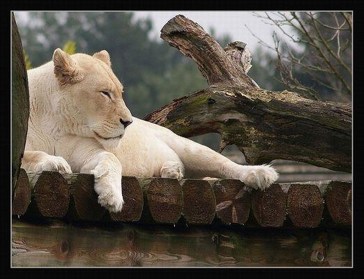 Die weiße Löwin von Timbavati