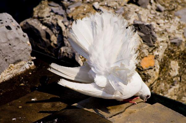 Die weiße Taube