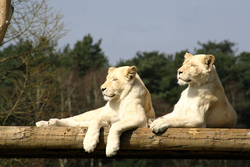 Die Weissen Löwen