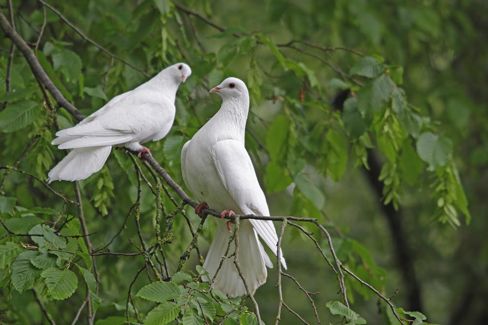 die weissen Tauben
