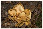 Die Welt der Pilze: Eselsohr