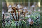 Die Welt der Pilze: Mooshäubling