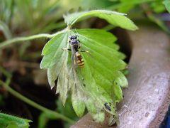 Die Wespe mal aus einem anderen Blickwinkel