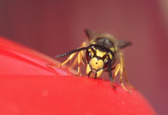 Die Wespen greifen an....