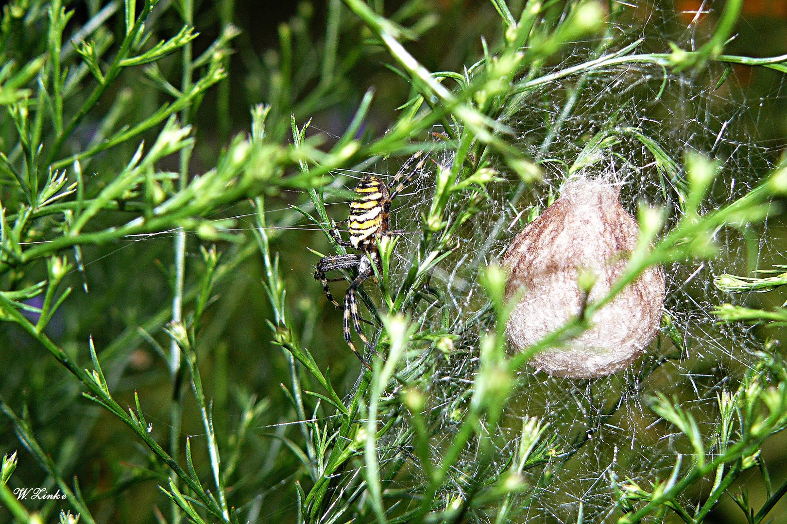 Die Wespenspinne bewacht ihr Nest