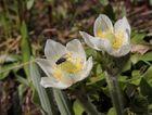 Die Westliche Berganemone, Western Anemone (Pulsatilla occidentalis)...
