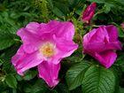 Die wielde Rosen:)