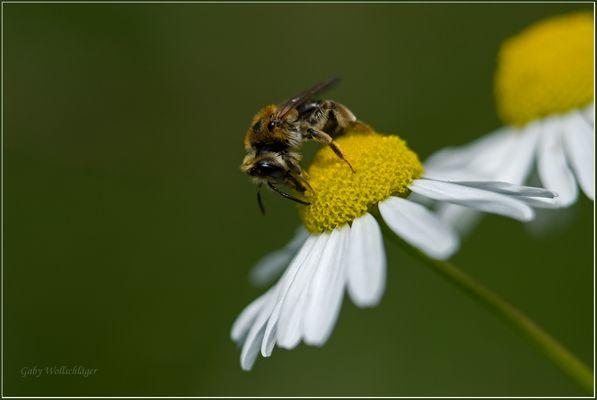 Die Wildbiene