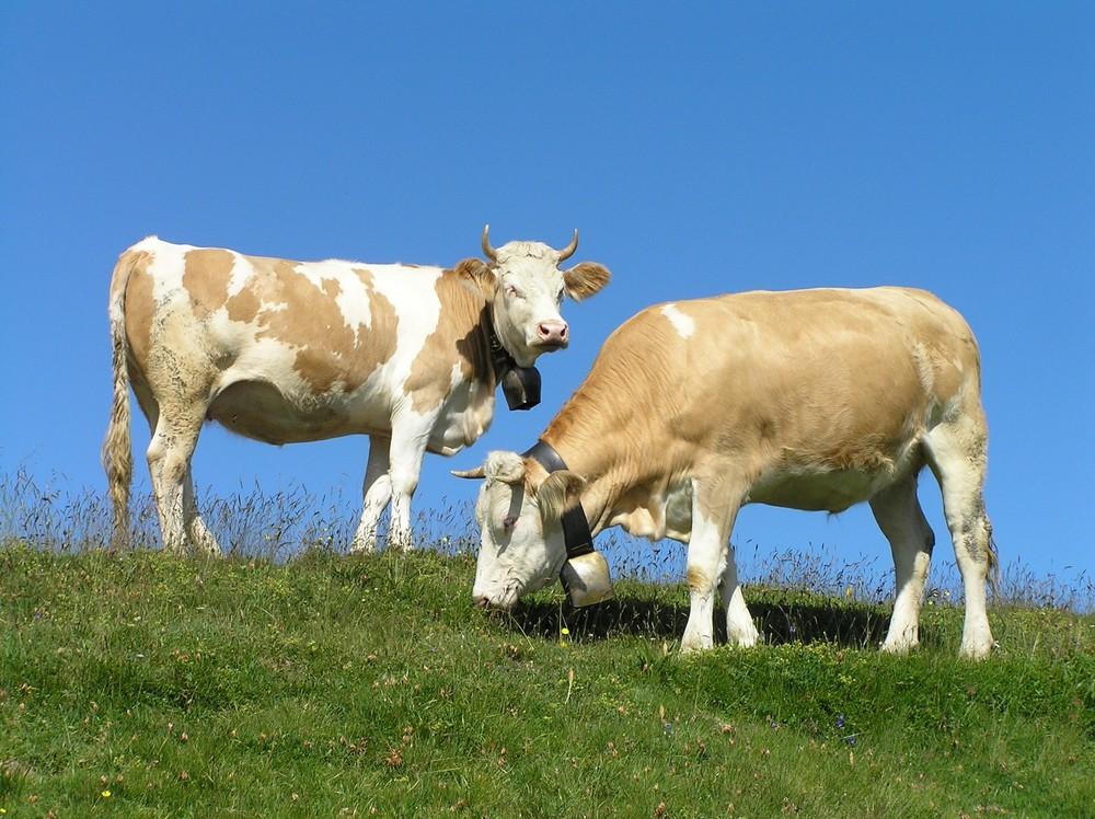 ...die wilden Schweizer Kühe