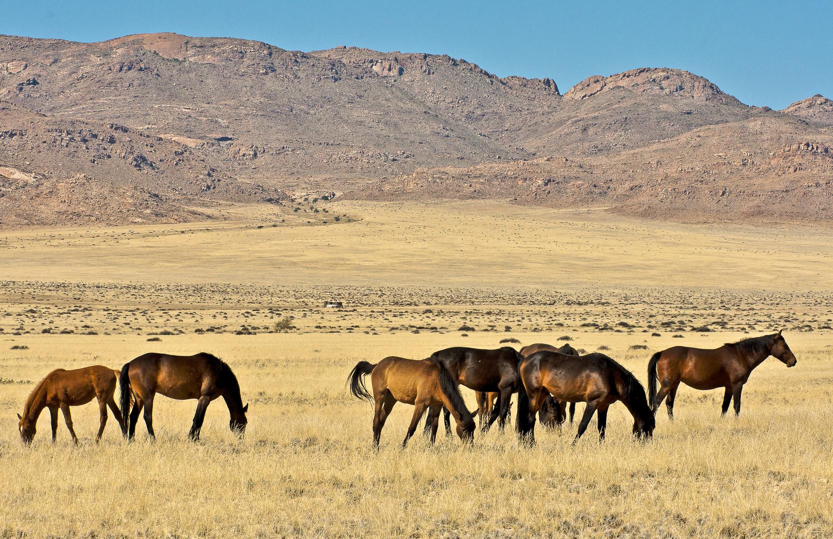 Die Wildpferde der Namib - 1