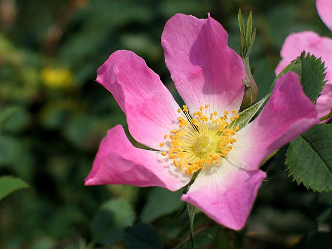 Die Wildrose