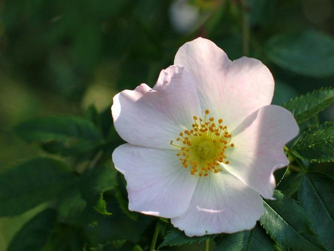die Wildrose 2
