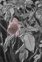 Die wirklich letzte Rose, im Eis erstarrt und in Infrarot festgehalten...#1724##