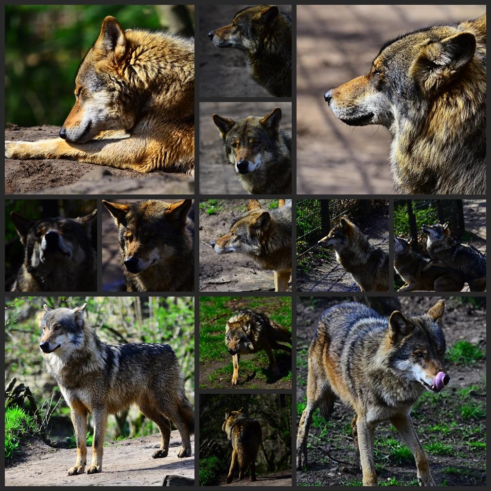 Die Wölfe im Tierpark Nordhorn