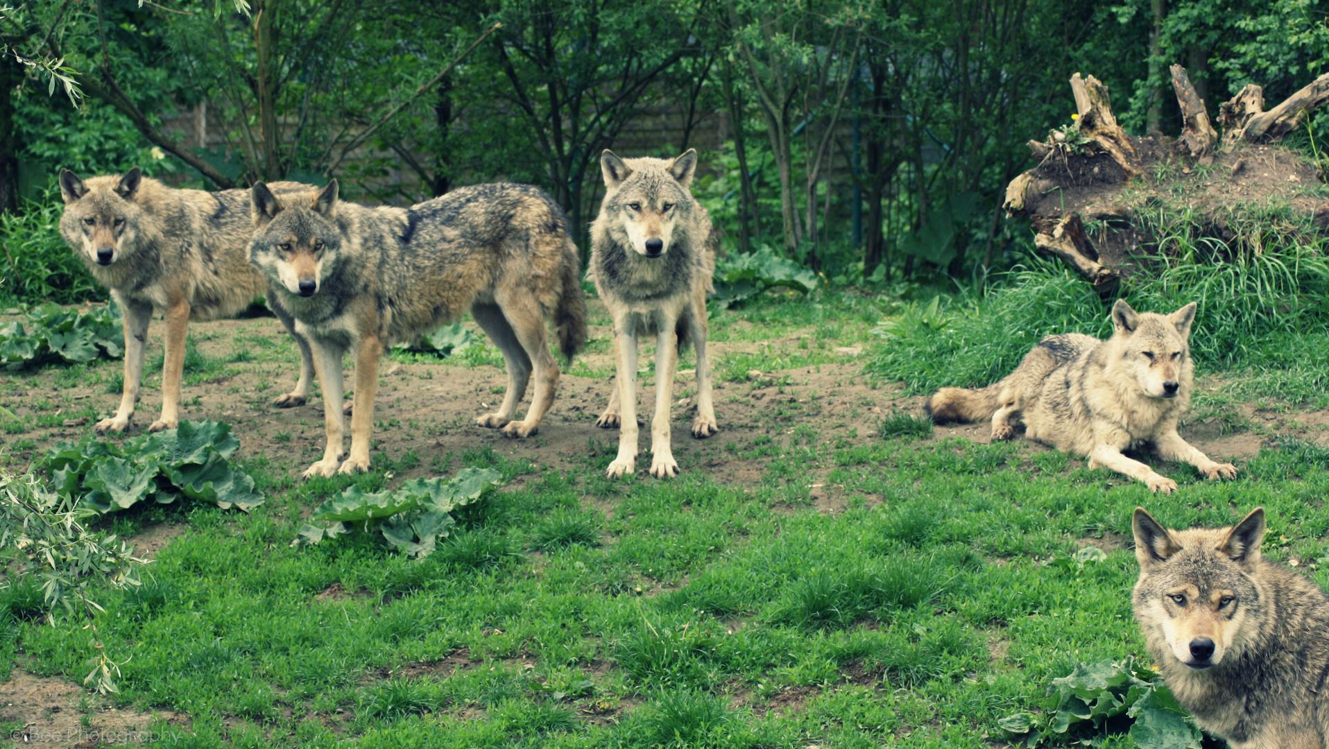 Die Wölfe sind los und wollen das Blut sehen.
