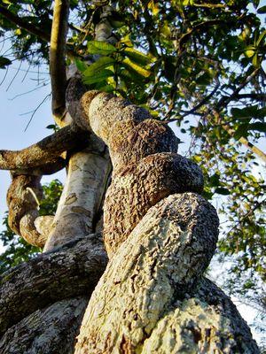 Die wohl umstrittenste Medizinalpflanze der Welt - Ayahuasca