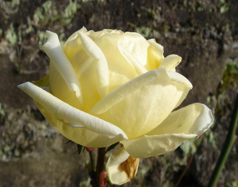 Die Zäheste wohl unter all den Rosen mal